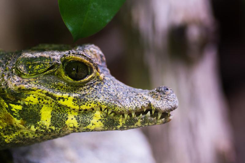 PHOTO 1 -Crocodile