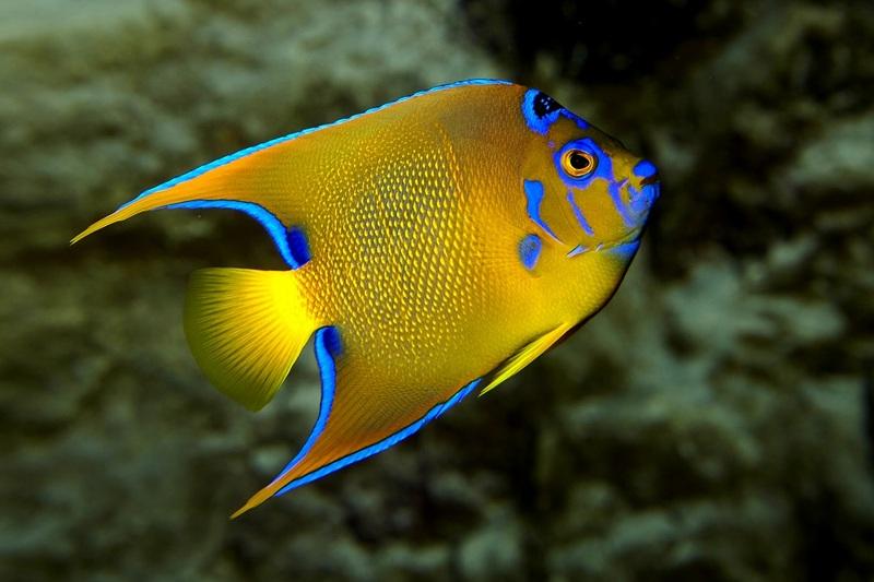 2019_poisson_ange_royal – Grand Aquarium Saint-Malo