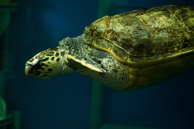 Aquarium_de_Saint_Malo_Tortue_Imbriquée_1-raphael_auvray
