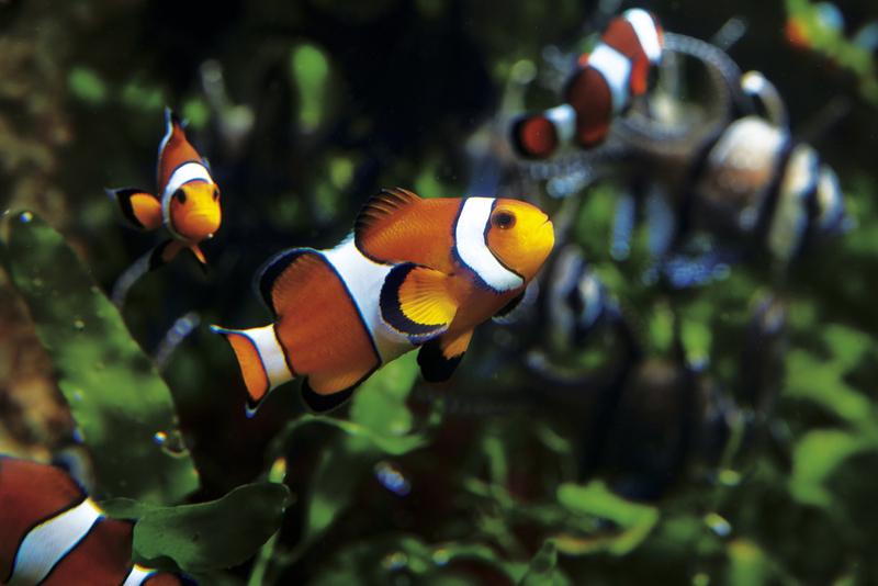 Aquarium_de_saint_malo_Poissons_Clowns – Grand Aquarium Saint-Malo