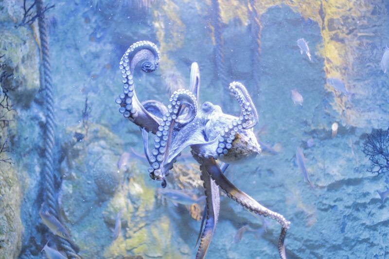Poulpe – Grand Aquarium Saint-Malo