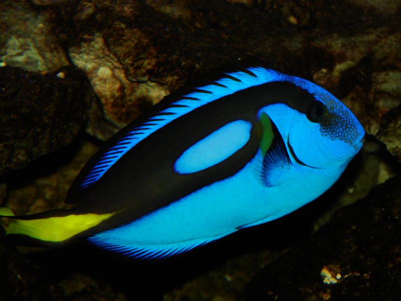Aquarium-poisson-chirurgien-Dorie