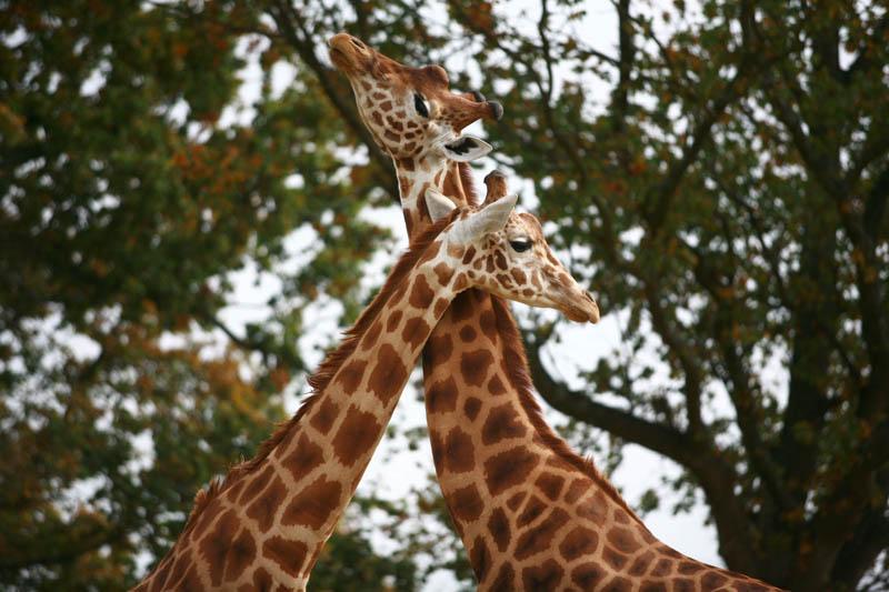 Champrepus-Parc-zoologique-et-paysager-girafes-Y.Lebreton