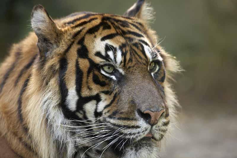 Champrepus-Parc-zoologique-et-paysager-gros-plan-tigre-Y.Lebreton