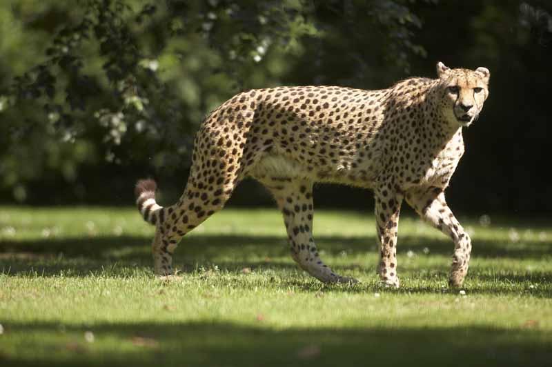 Champrepus-Parc-zoologique-et-paysager-guepard-Y.Lebreton