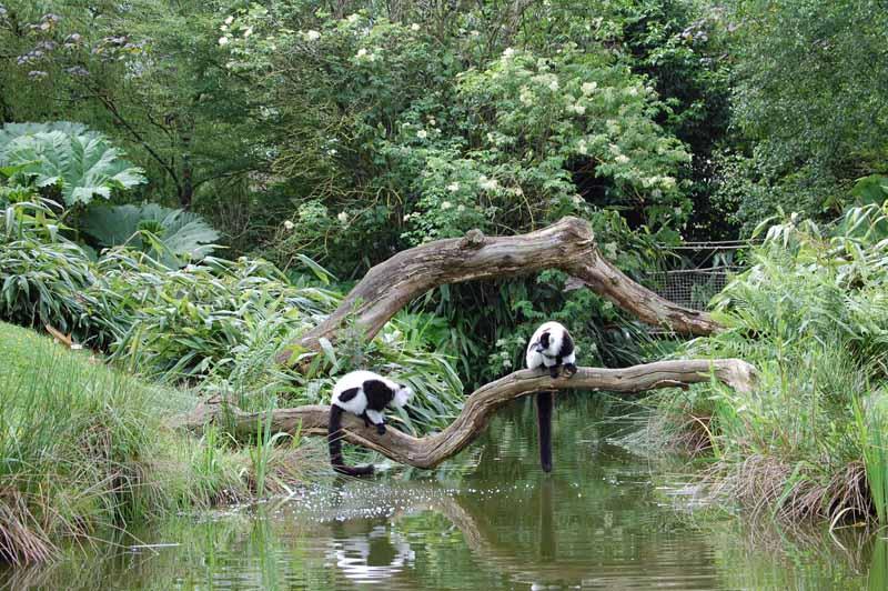Champrepus-Parc-zoologique-et-paysager-ile-des-makis-vari-blanc-et-noir-Y.Lebreton