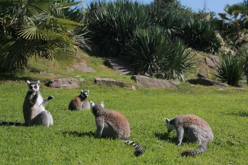 Champrepus-Parc-zoologique-et-paysager-lemuriens-Y.Lebreton