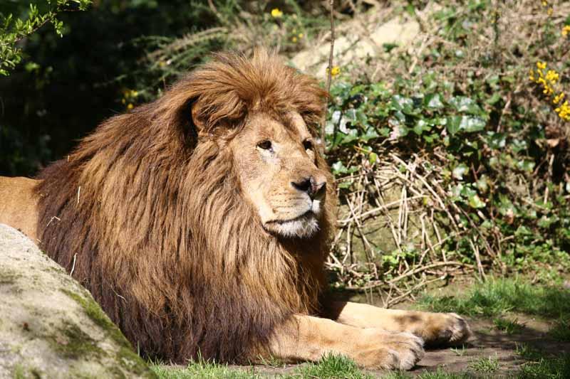Champrepus-Parc-zoologique-et-paysager-lion-couche-Y.Lebreton