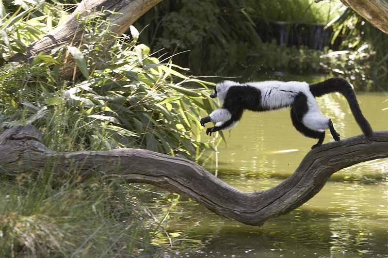 Champrepus-Parc-zoologique-et-paysager-maki-vari-blanc-et-noir-Y.Lebreton