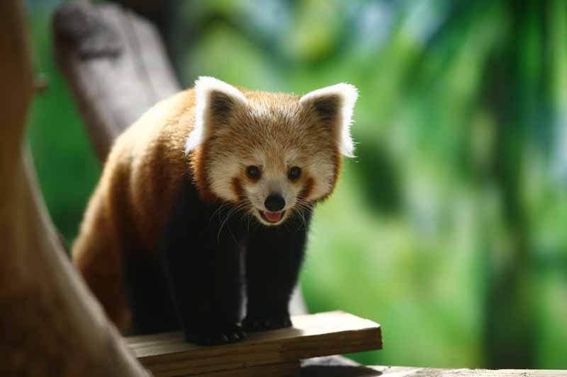 Champrepus-Parc-zoologique-et-paysager-panda-roux-Y.Lebreton