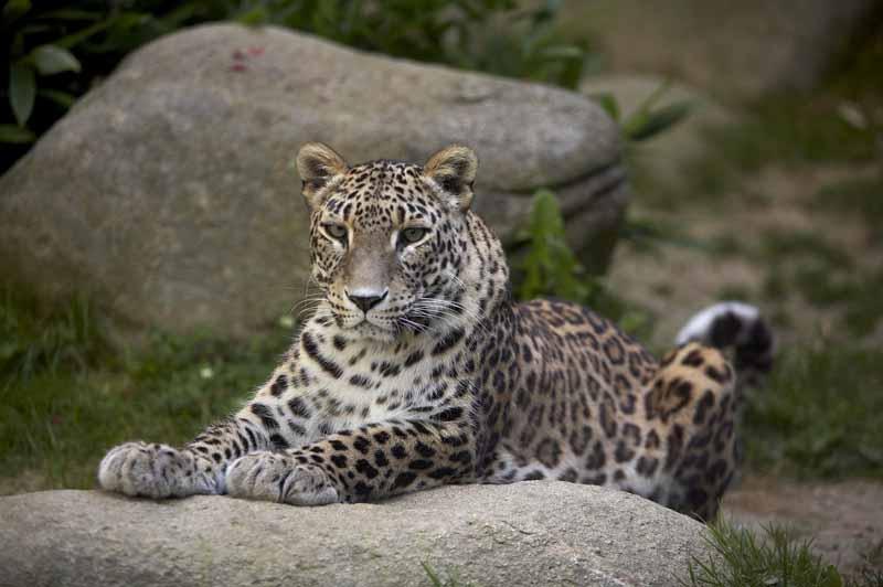 Champrepus-Parc-zoologique-et-paysager-portrait-panthere-Y.Lebreton
