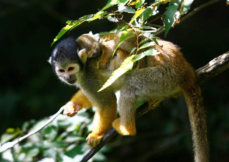 Champrepus-Parc-zoologique-et-paysager-singe-ecureuil-Y.Lebreton