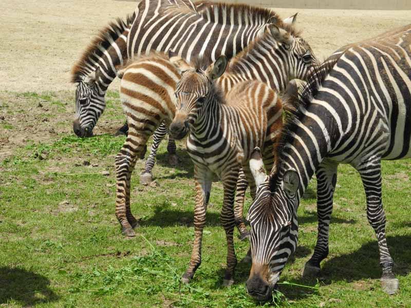 Champrepus-Parc-zoologique-et-paysager-zebreau-Y.Lebreton
