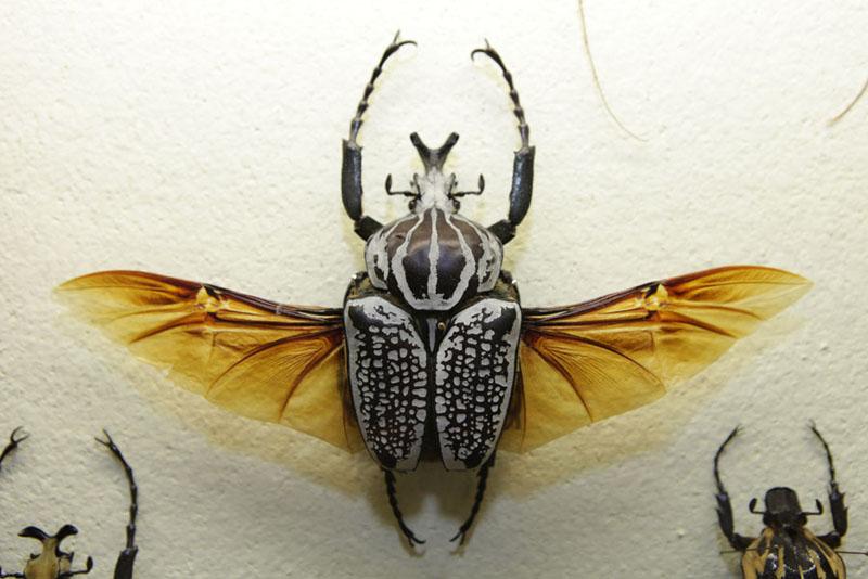 Jardin-des-papillons-le-Goliath