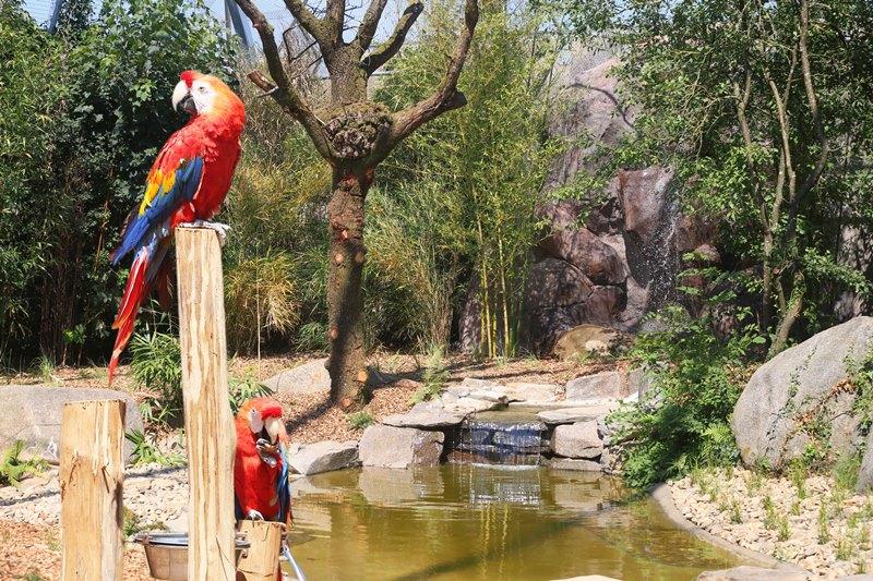 champrepus-zoo-ara-macao-1