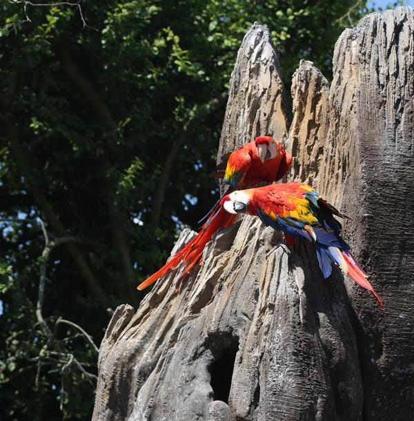 champrepus-zoo-ara-macao-2